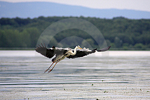 The Great Heron In Flight Over The Danube Royalty Free Stock Photos - Image: 16208688