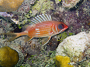 Squirrelfish De Longspine (rufus De Holocentrus) Photo libre de droits - Image: 16210275