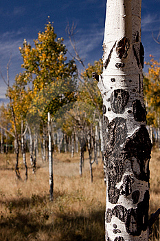Aspens Stock Photography - Image: 16211972