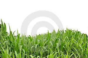 Curve Grass And White Isolate Background Royalty Free Stock Images - Image: 16212909