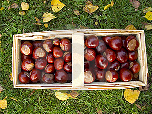 Basket Full Of Chestnuts Stock Image - Image: 16217441