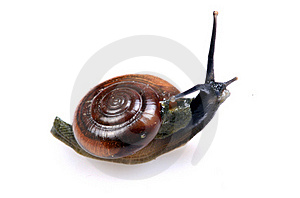 Snail Royalty Free Stock Photos - Image: 16217798