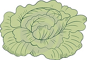 Cabbage Head Stock Images - Image: 16218894
