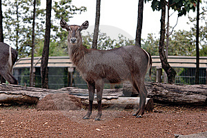 The Female Water Buck Stock Images - Image: 16219654