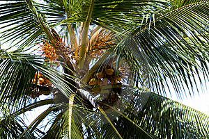 Coconut Tree Royalty Free Stock Image - Image: 16220656