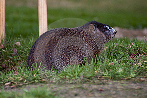 Woodchuck Royalty Free Stock Photos - Image: 16222718