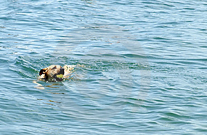Dog Fetching Ball In Water Stock Photography - Image: 16227412