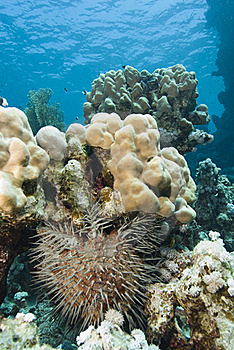 Tropical Coral Reef With Crown-of-thorns Starfish. Royalty Free Stock Images - Image: 16229009