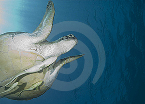 Adult Female Green Turtle , Swimming. Royalty Free Stock Image - Image: 16229076