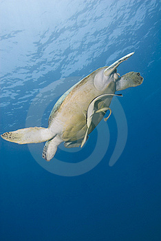 Adult Female Green Turtle Swimming. Stock Photography - Image: 16229152