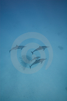 Swimming Wild Spinner Dolphins. Stock Photos - Image: 16229193