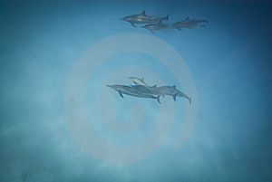 Schooling Wild Spinner Dolphins. Stock Photography - Image: 16229222