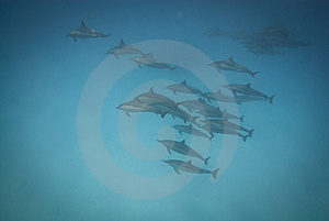 Schooling Wild Spinner Dolphins. Royalty Free Stock Photography - Image: 16229227