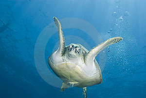 Adult Female Green Turtle Swimming, Frontal View. Stock Photo - Image: 16229280