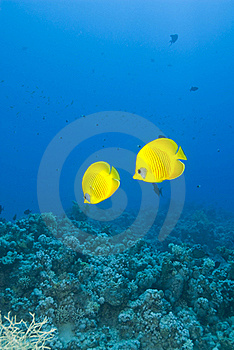 A Couple Of Masked Butterflyfish, Blue Background. Royalty Free Stock Images - Image: 16229299