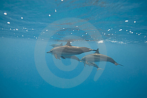 Swimming Wild Spinner Dolphins. Royalty Free Stock Photos - Image: 16229358