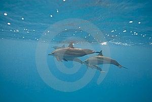 Schwimmende Wilde Spinnerdelphine. Lizenzfreie Stockfotos - Bild: 16229358