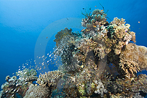 Tropical Coral Reef With Small School Of Glassfish Royalty Free Stock Photo - Image: 16229385