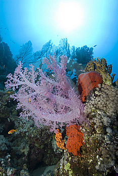 Vibrant Pink Soft Coral On A Tropical Coral Reef. Royalty Free Stock Photography - Image: 16229507