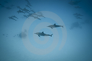 Schooling Spinner Dolphins In The Wild. Royalty Free Stock Images - Image: 16229579