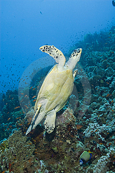 Adult Male Hawksbill Turtle Swimming. Royalty Free Stock Photography - Image: 16229617