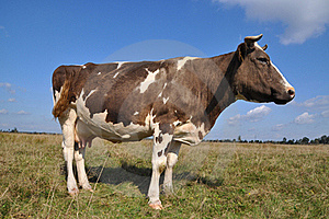 Cow On A Summer Pasture Royalty Free Stock Images - Image: 16230639