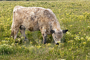 One Cow Royalty Free Stock Photos - Image: 16234268