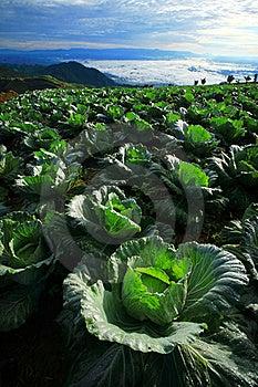 Cabbage Plantation Stock Photo - Image: 16235570