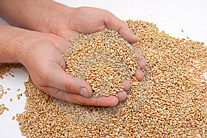 The Hands And Wheat Royalty Free Stock Images - Image: 16235689