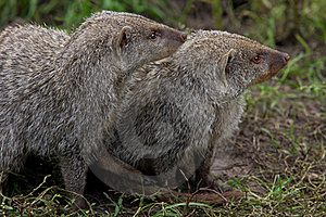 Couple Of Banded Mongoose Stock Photos - Image: 16237163