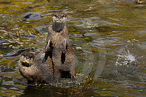 Asian Small Clawed Otters Stock Photo - Image: 16240420
