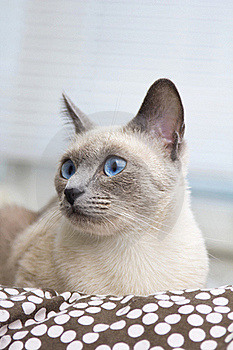 Portrait Of A Siamese Cat's Face Stock Photo - Image: 16241500