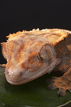 Gecko Stock Images - Image: 16241784