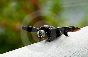 Giant Carpenter Bee Stock Photography - Image: 16245582