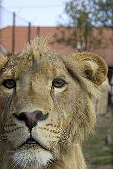 Lion Royalty Free Stock Images - Image: 16247529
