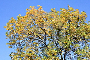 Сrone Of A Autumn Tree Stock Photo - Image: 16247670