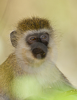 Close-up To The Eyes Of A Vervet Monkey Royalty Free Stock Photos - Image: 16252258
