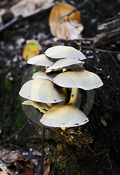 Toadstools On Root Stock Photography - Image: 16255782