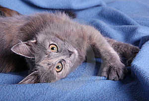 A Kitten On A Blue Blanket Stock Images - Image: 16255794