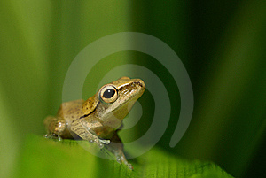 Ambitious Frog Gazing At The Sky Stock Images - Image: 16265644