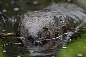 Swimming Beaver Stock Image - Image: 16268941