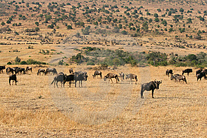 Kenya's Maasai Mara Animal Migration Stock Photo - Image: 16274110
