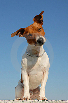 Jack Russel Terrier Stock Image - Image: 16274821