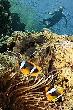 Nemo Fish And Snorkeler Stock Photos - Image: 16274843