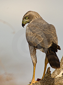 Close-up Of An Eastern Chanting-goshawk Stock Image - Image: 16281401