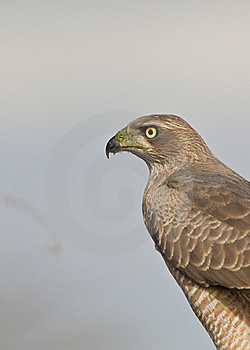 Portrait Of An Eastern Chanting-goshawk Stock Photo - Image: 16281420
