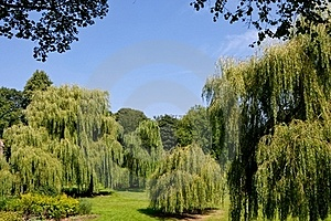 Weeping Willows Royalty Free Stock Images - Image: 16282889