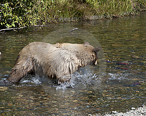 Blonde Brown Bear 24 Hunting Royalty Free Stock Photography - Image: 16287237