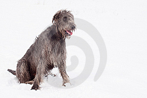 Irish Wolfhound Royalty Free Stock Image - Image: 16287526