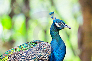 Peafowl Stock Images - Image: 16287824
